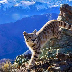 El gato andino es una de las especies autóctonas que buscan proteger con la creación de este nuevo parque sanjuanino.gtc