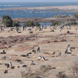 Llegó septiembre y con el mes, arriban los pingüinos a las costas de Chubut.