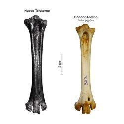 Comparación de los huesos del teratorno y del cóndor.