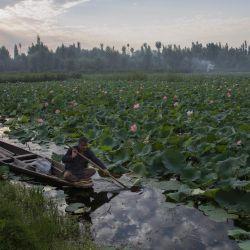 Un hombre rema su bote cerca de vegetación de loto en el lago Dal, en Srinagar, administrada parcialmente por India.   Foto:Xinhua / Javed Dar