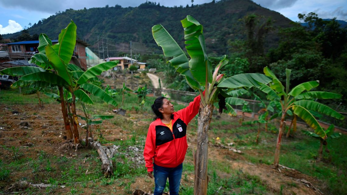 Colombian indigenous environmentalist Celia Umenza, 48, touches a tree in Tacueyo, department of Cauca, Colombia on September 7, 2021. Death breathes on the nape of indigenous people who defend nature in Colombia, the deadliest country for environmentalists.