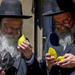 Judíos ultraortodoxos inspeccionan cítricos etrog antes de la celebración de Sucot, la Fiesta de los Tabernáculos, en el barrio ultraortodoxo de Mea Shearim en Jerusalén.   Foto:Emmanuel Dunand / AFP
