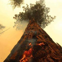 Las llamas se extendieron por un árbol (las llamas fueron apagadas por los bomberos con mangueras) mientras el incendio de Windy arde a lo largo del Sendero de los 100 gigantes en el Bosque Nacional Sequoia, cerca de Ponderosa, California.  | Foto:AFP