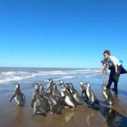 Los 14 pingüinos fueron liberados en las aguas de San Clemente del Tuyù.