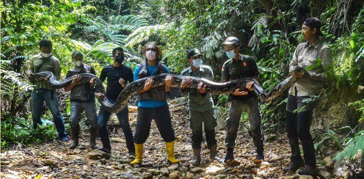 Los guardabosques posando con una pitón sedada de 9 metros de largo, que se estima en unos 100 kilogramos, capturada cerca de una aldea en Kampar y luego devueltos a la jungla vecina de Palalawan.