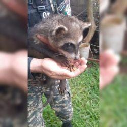 El animal habìa sido rescatado en el monte.