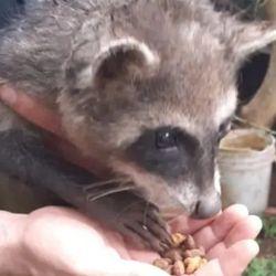 El mapache sudamericano se encontraba en muy buenas condiciones de salud.