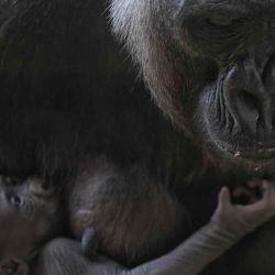 El gorila occidental de las tierras bajas Imbi y su bebé gorila son vistos en el zoológico de Belo Horizonte, Brasil. | Foto:AFP