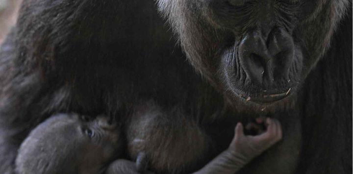 El gorila occidental de las tierras bajas Imbi y su bebé gorila son vistos en el zoológico de Belo Horizonte, Brasil.