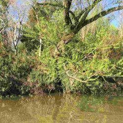 En las orillas de ríos, canales y arroyos crecen grandes sauces, que para mantenerse en pie tienen grandes raíces.