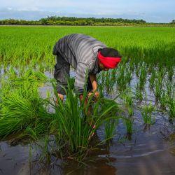 Un trabajador inspecciona la vegetación atacada por caracoles en un campo de arroz en Sekinchan, estado de Selangor, Malasia.   Foto:Mohd Rasfan / AFP