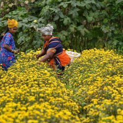 Los agricultores cosechan flores de crisantemo de un campo en las afueras de Bangalore.   Foto:Manjunath Kiran / AFP