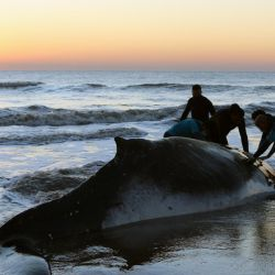 In this handout photo released by Mundo Marino Foundation on October 5, 2021, rescuers help a stranded humpback whale (Megaptera novaeangliae) on the shores at Lucila del Mar, Buenos Aires Province. During the last 48 hours, two unusual strandings of humpback whales were recorded in the Province of Buenos Aires. In both cases, rescue teams were able to return both whales to the sea.