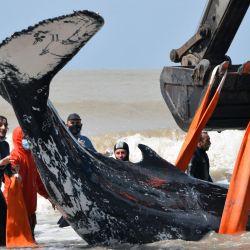 En esta foto difundida por la Fundación Mundo Marino, los rescatistas ayudan a una ballena jorobada varada en las costas del mar argentino en Nueva Atlantis, a unos 350 km al sureste de Buenos Aires. - En las últimas se registraron dos varamientos inusuales de ballenas jorobadas en la provincia de Buenos Aires. En ambos casos, los equipos de rescate pudieron devolver al mar a ambas ballenas.   Foto:FUNDACION MUNDO MARINO / AFP