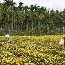 Un agricultor cosecha flores de crisantemo de un campo en las afueras de Bangalore.   Foto:Manjunath Kiran / AFP