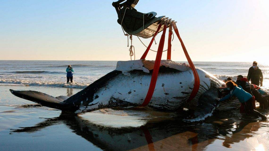 Rescuers help stranded humpback whales (Megaptera novaeangliae) on the shores at Lucila del Mar, Buenos Aires Province. Photo provided by Mundo Marino Foundation.