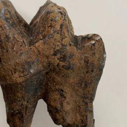 El hallazgo del diente es muy extraño ya que los mastodontes son difíciles de conservar como fósiles