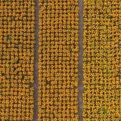 Imagen tomada con un dron de un campo de flores de cempasúchil, un elemento tradicional de las ofrendas de Día de Muertos, en la Ciudad de México, capital de México. | Foto:Xinhua/Luis Licona