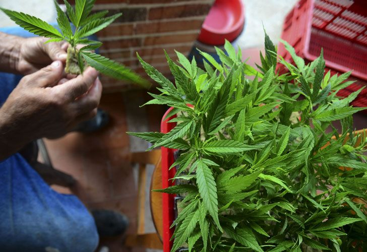 El Gobierno reglamentó en forma parcial la ley de cannabis medicinal.