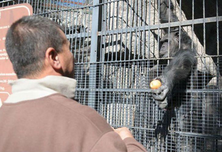 La chimpancé Cecilia tiene 20 años.