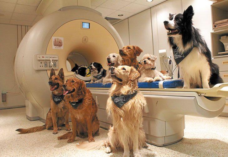 Experimento. Etólogos húngaros entrenaron a los perros durante siete meses para poder realizarles una resonancia magnética funcional y estudiar sus cerebros.