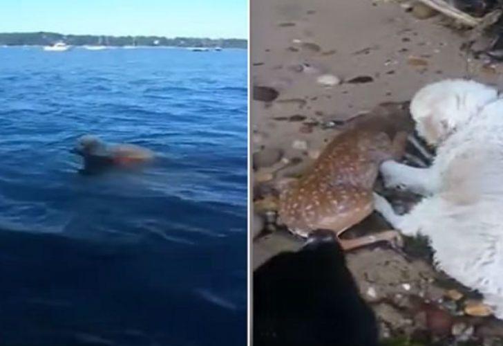Perro salva a un venado de ahogarse