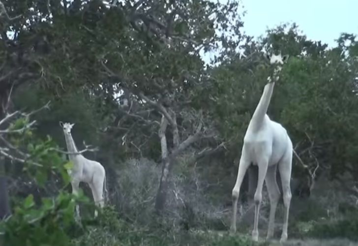 Furor por las jirafas blancas de Kenia.
