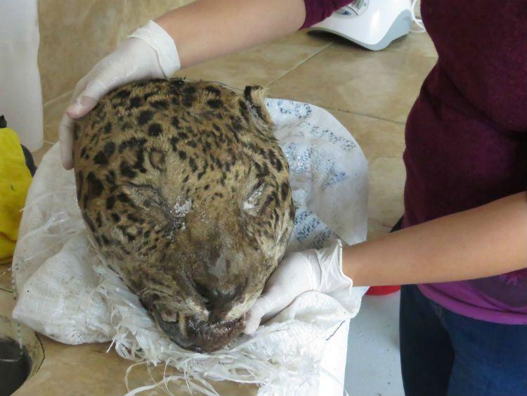 La cabeza del yaguareté cazado en la región chaqueña fue hallada en una bolsa cerca de Resistencia.
