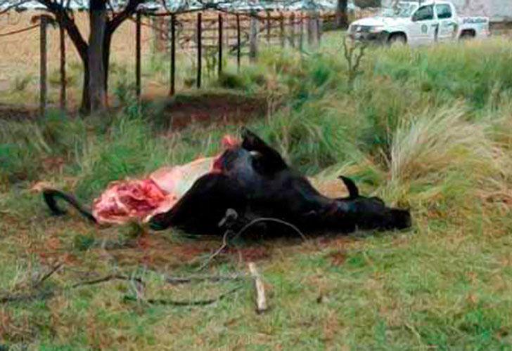 El trabajo de un grupo de científicos del Conicet se vio seriamente perjudicado luego de que apareciera faenada la vaca en la que probaban una nueva vacuna