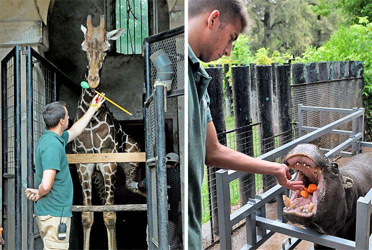 Rutinas. Con las jirafas, trabajan para que levanten las patas y poderles limar las pezuñas, que no tienen el desgaste suficiente y al hipopótamo pigmeo lo premian tras abrir la boca.