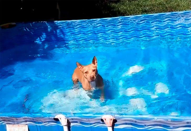 Kiara es una simpática pitbull que conquistó a todos en las redes sociales con un video que subió su dueño a Facebook.
