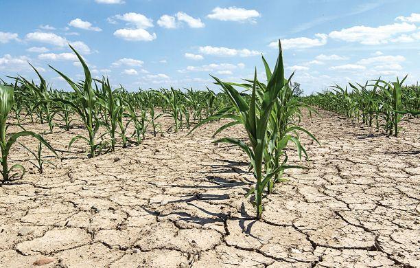 EN RETIRADA. Pocos productores están inviertiendo en control de plagas. La mayoría aguarda alguna lluvia para aplicar, si no abandonarán los cultivos.