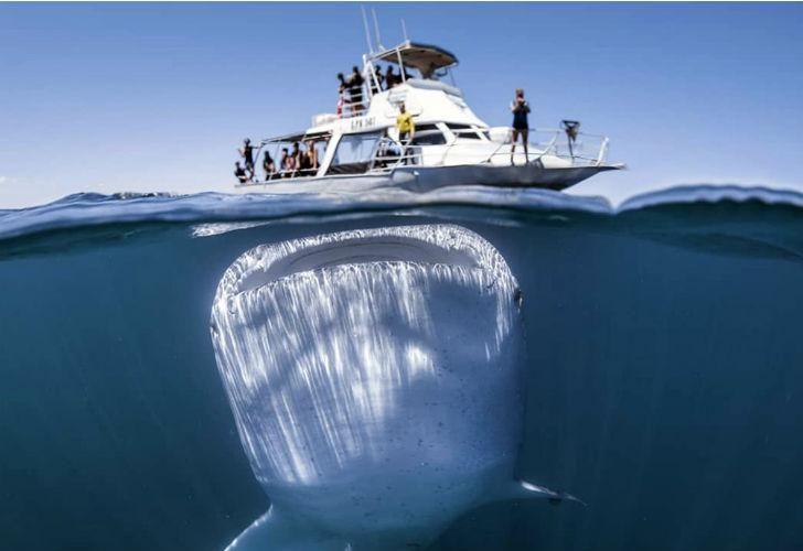 El Rhincodon typus, mejor conocido como tiburón ballena, el pez más grande del mundo.