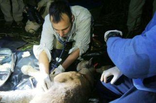 Capturaron al puma que había sido visto en el parque Iguazú