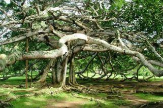 Entró en el libro Guiness: un único árbol forma una selva de 19.000 m2