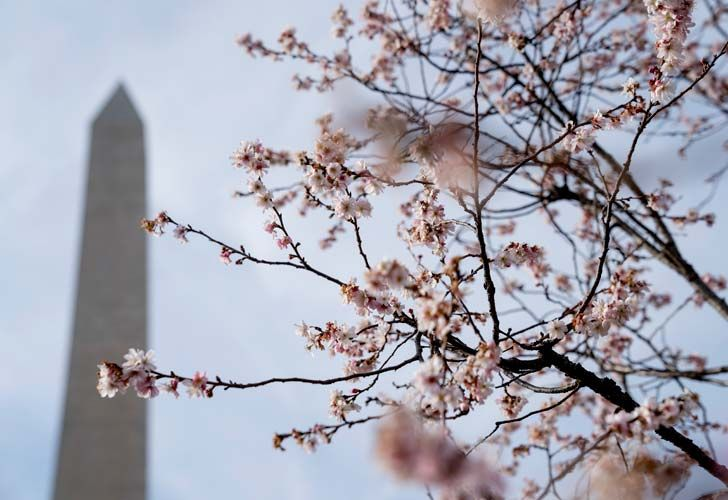 Cherry blossom trees in bloom on the National Mall near the Washington Monument in Washington DC.