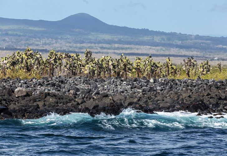 View of giant cactuses (opuntia echios) that grow next to the coastline in the Santa Cruz Island, Galapagos, Ecuador, on January 20, 2018.