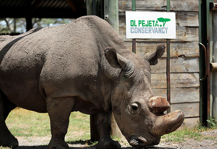 Sudan, the world's last male northern white rhino, grazes at the Ol Pejeta Conservancy in Laikipia county in Kenya, in this file photo. Sudan has died after