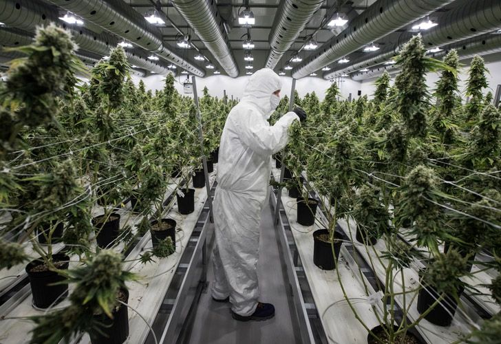 An employee with medicinal marijuana plants in the flowering room at Tweed INC. in Smith Falls, Ontario.