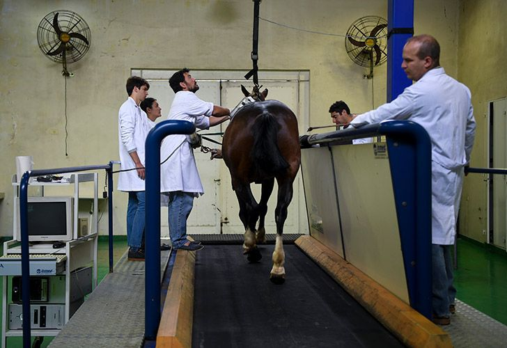 Researchers of the Genetics Veterinary Institute (IGEVET) do tests on a polo horse at La Plata University in La Plata.