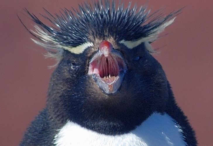 Face-to-face with an indignant rockhopper at Isla Pingüinos.