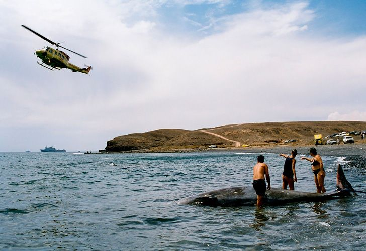 A hand out image made available by the Fuerteventura Government on January 29, 2019, shows researchers attempting to rescue a stranded beaked whale off the island of Fuerteventura in the Canary Islands in 2002. On January 30, 2019, twenty-one experts researchers in the Royal Society journal Proceedings B released their findings. Scientists have long known that some beaked whales beach themselves and die in agony after exposure to naval sonar, and now they know why: the giant sea mammals suffer decompression sickness, just like scuba divers.