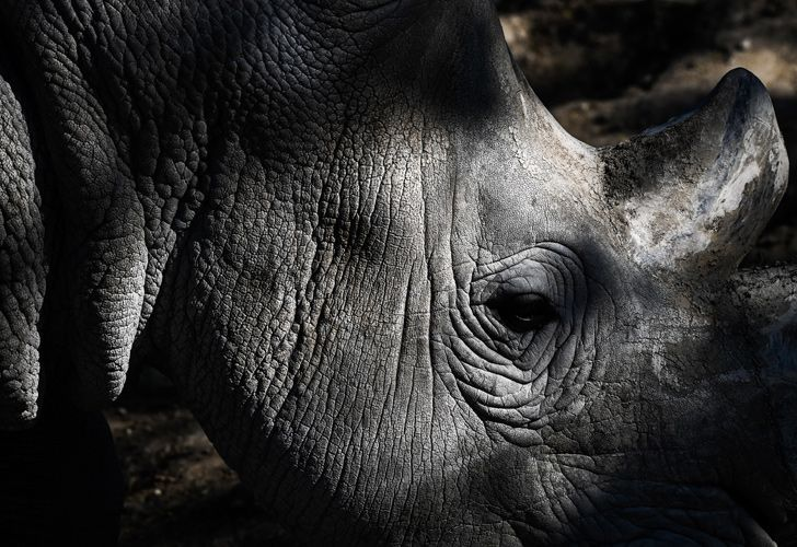 A picture shows a close-up of a rhinoceros in an enclosure at the Paris zoological park (Parc zoologique de Paris) in Paris on April 12, 2019.