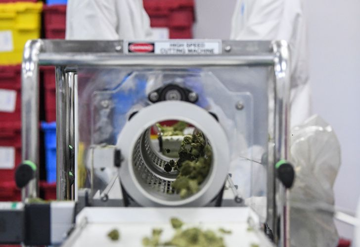 Workers select marijuana buds at the Fotmer Life Sciences company in Nueva Helvecia, 12km west of Montevideo.
